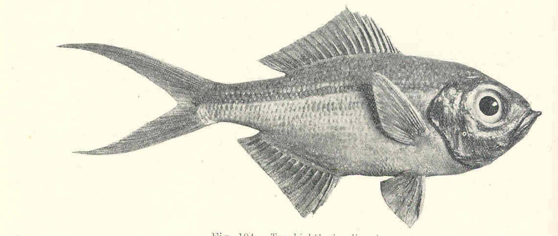 Image of Centroberyx
