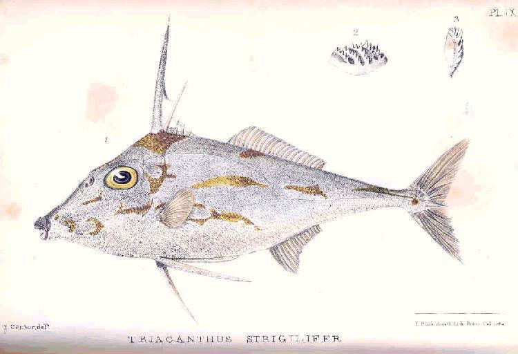 Image of Blotched tripodfish