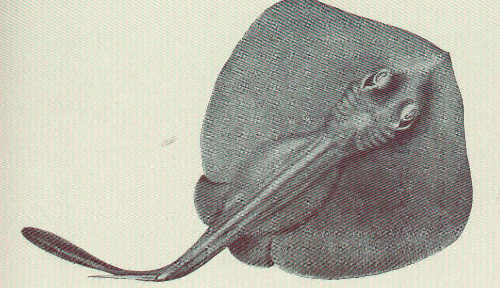 Image of Striped Stingaree