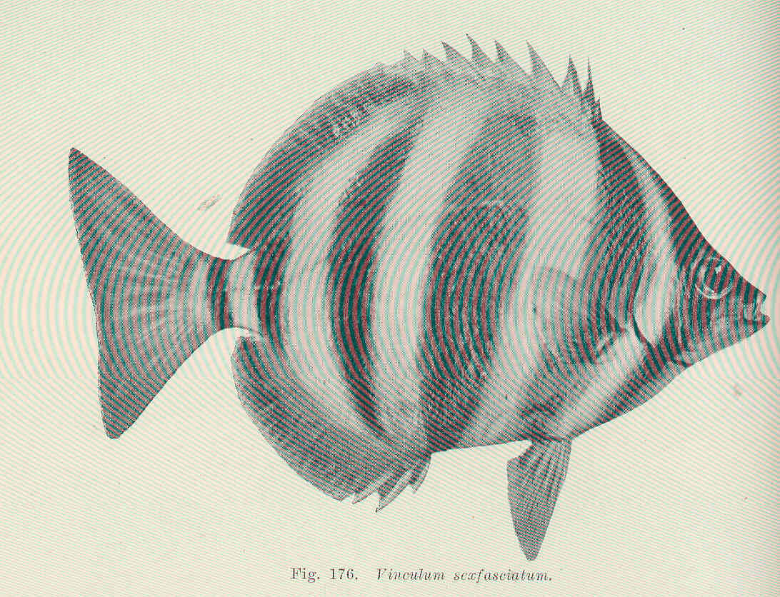 Image of Butterfish