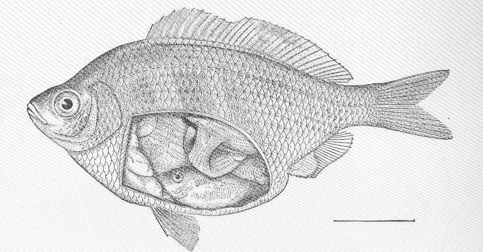 Image of Shiner Perch