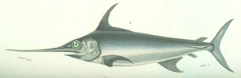 Image of swordfishes