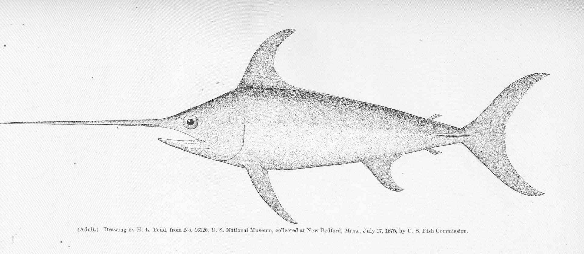 Image of swordfish