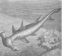 Image of Hammerhead shark
