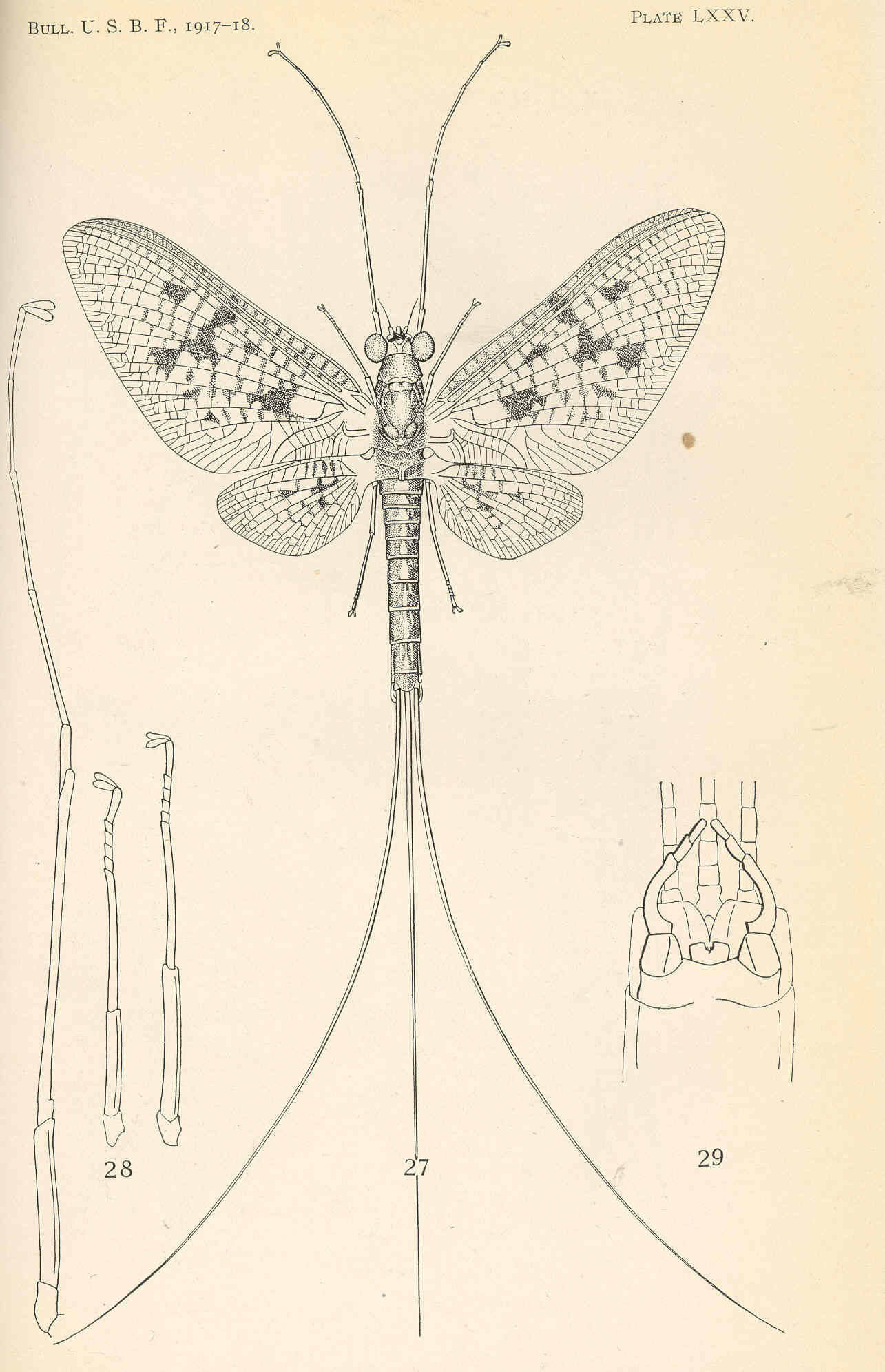 Image of <i>Ephemera varia</i> Eaton 1883