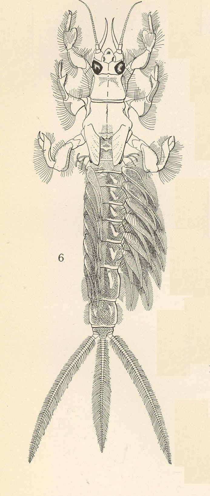 Image of <i>Hexagenia bilineata</i> (Say 1824)