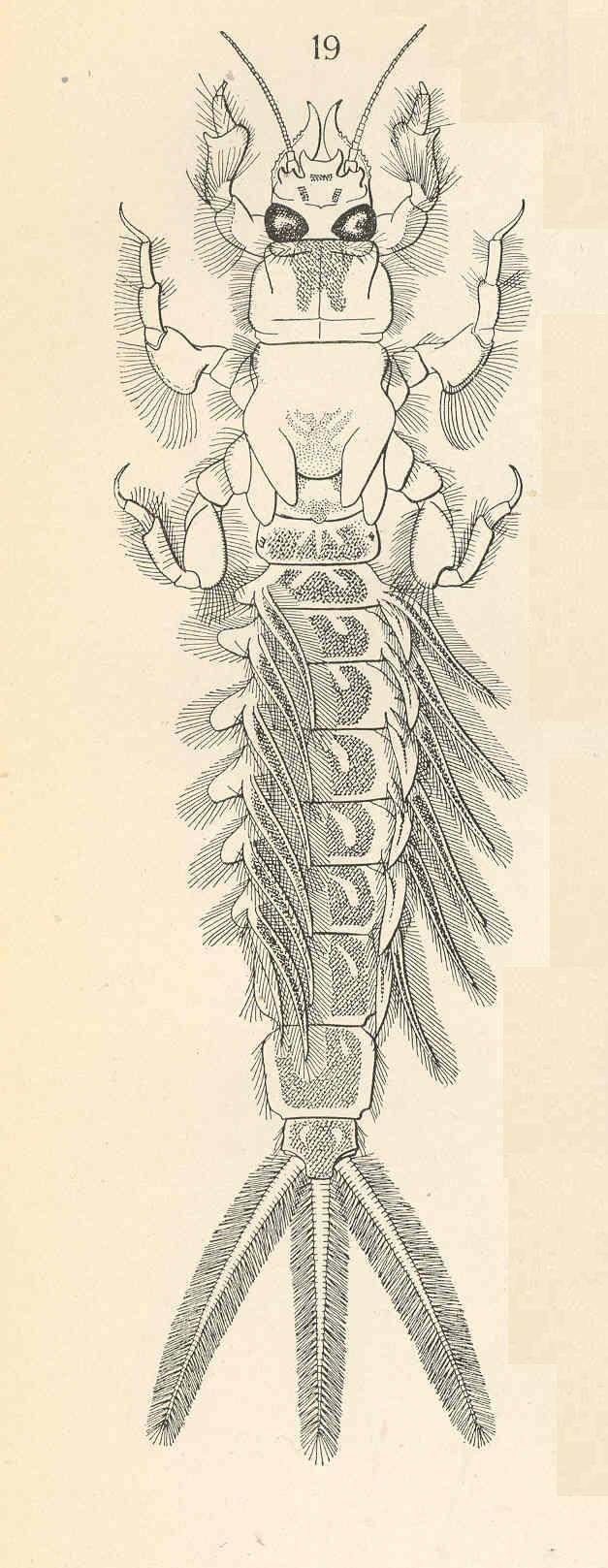 Image of <i>Pentagenia vittigera</i> Walsh 1862
