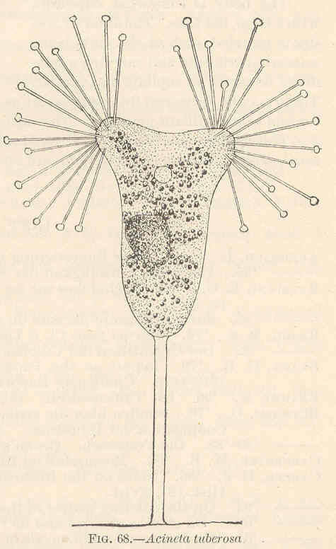Image of <i>Acineta tuberosa</i>