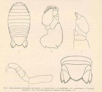 Image of <i>Aega symmetrica</i> H. Richardson 1905