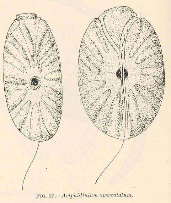 Image of <i>Amphidinium operculatum</i>