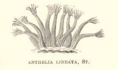 Image of <i>Sansibia lineata</i> (Stimpson 1855)