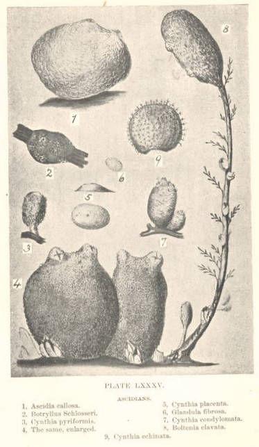 Image of <i>Ascidia callosa</i> Stimpson 1852