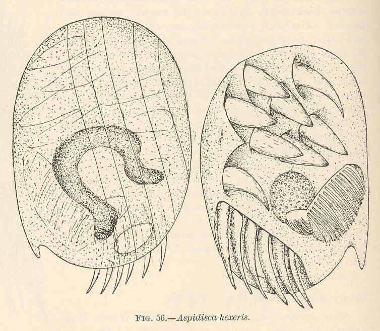 Image of <i>Aspidisca hexeris</i>
