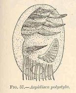 Image of <i>Aspidisca polystyla</i> Stein 1859