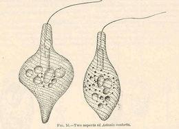 Image of <i>Astasia contorta</i> Dujardin 1841