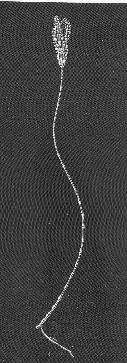 Image of <i>Bathycrinus gracilis</i> Thomson 1872