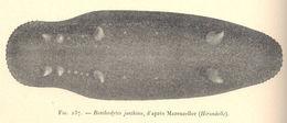 Image of <i>Benthodytes lingua</i> Perrier R. 1896