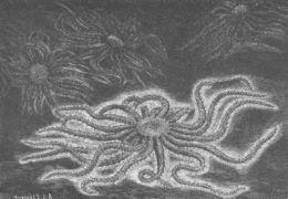 Image of <i>Freyella elegans</i> (Verrill 1884)