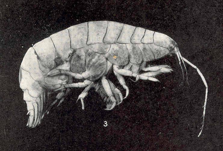 Image of <i>Byblis serrata</i> S. I. Smith 1873