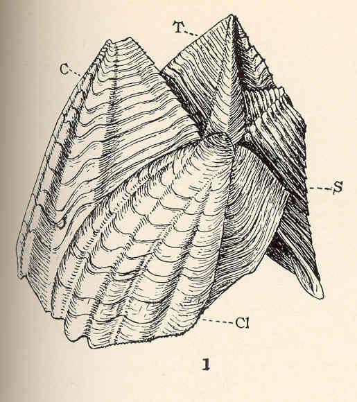 Image of Catophragmus