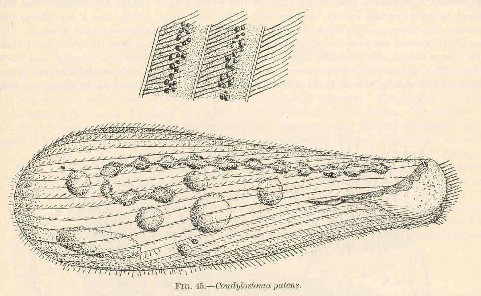 Image of <i>Condylostoma patense</i> Müller 1786
