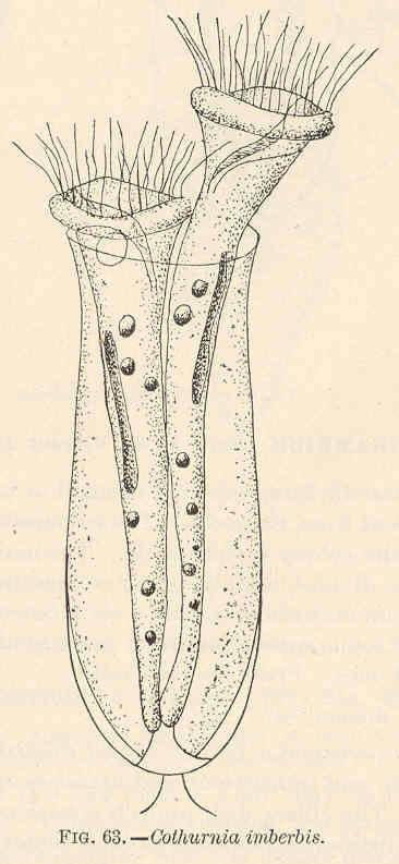 Image of <i>Cothurnia imberbis</i> Ehrenberg 1831