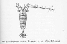Image of Diaptomus