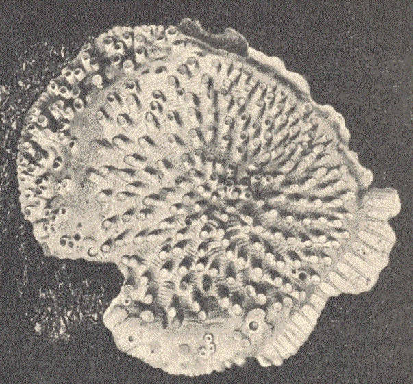 Image of Diastopora