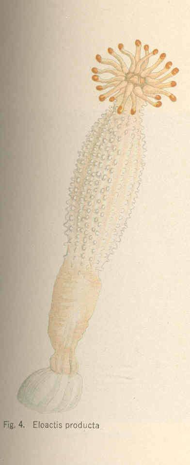 Image of <i>Haloclava producta</i> (Stimpson 1856)