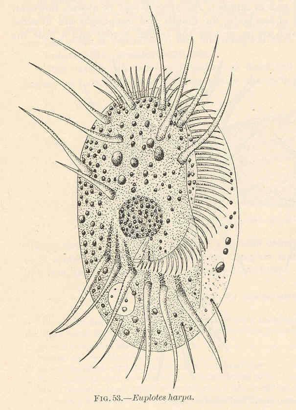 Image of <i>Euplotes harpa</i>