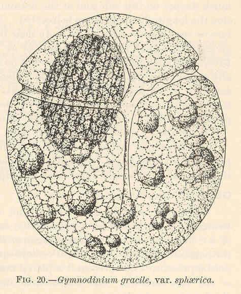 Image of <i>Gymnodinium gracile</i> Bergh 1881