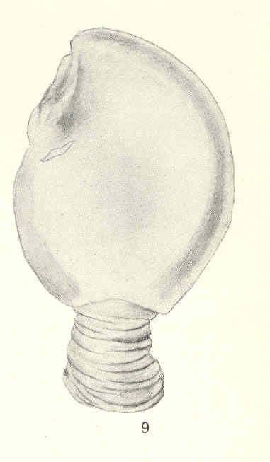 Image of Heteralepas