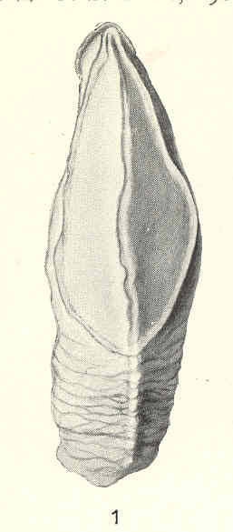 Image of <i>Heteralepas vetula</i> Pilsbry 1909