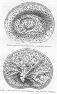 Image of <i>Hyalonema</i> (<i>Coscinonema</i>) <i>toxeres</i> Thomson 1873
