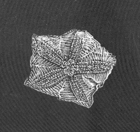 Image of <i>Hymenaster pellucidus</i> Thomson 1873