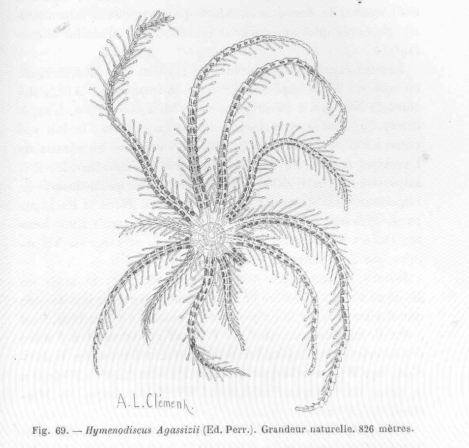 Image of Hymenodiscus