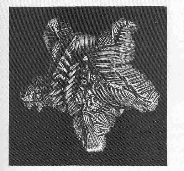 Image of <i>Korethraster hispidus</i> Wyville Thomson 1873