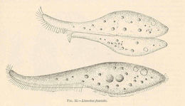 Image of <i>Litonotus duplostriatus</i> (Maupas 1883) anon.