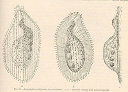 Image of <i>Loxophyllum setigerum</i> Quennerstedt 1867