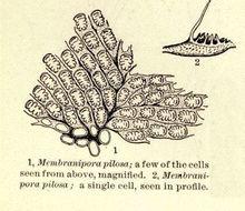 Image of Membranipora