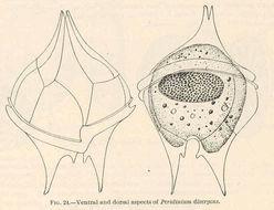 Image of <i>Protoperidinium divergens</i>