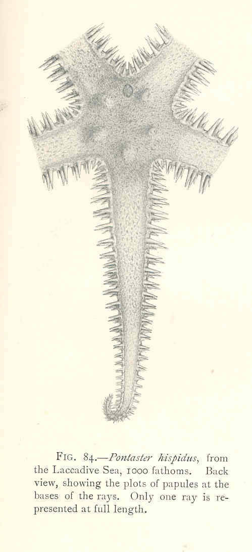 Image of <i>Pectinaster mimicus</i> (Sladen 1889)