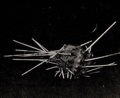 Image of <i>Histocidaris sharreri</i> (A. Agassiz 1880)