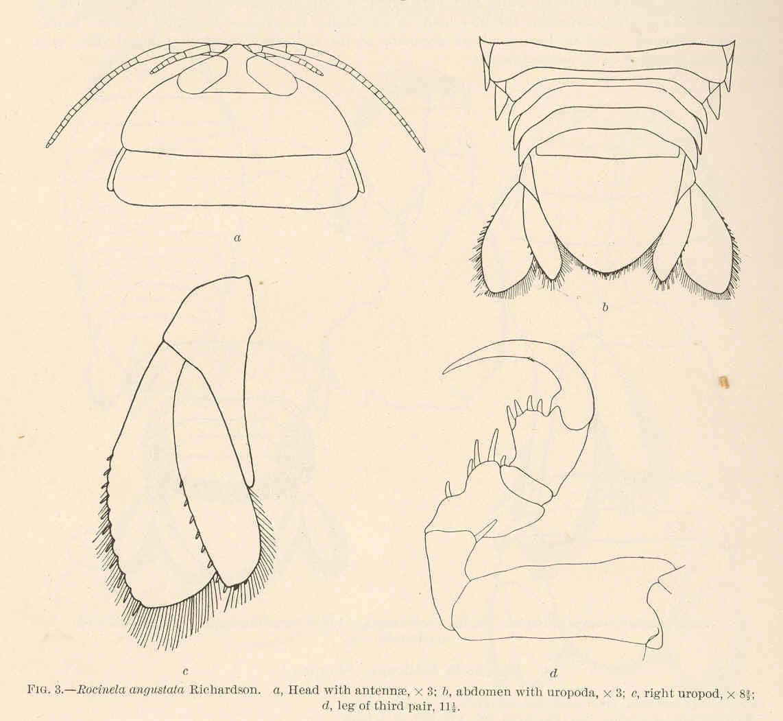Image of <i>Rocinela augustata</i> Richardson 1904