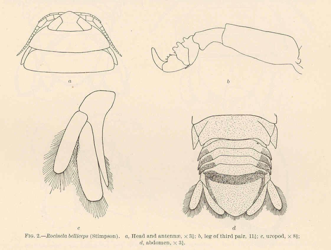 Image of <i>Rocinela belliceps</i> (Stimpson 1864)