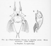 Image of <i>Sacculina carcini</i> Thompson 1836