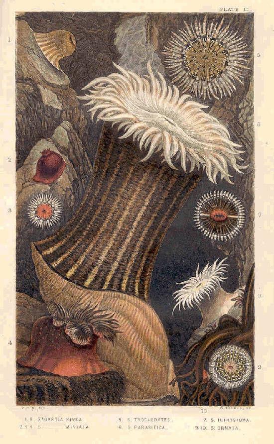 Image of <i>Paranthus nivea</i> (Lesson 1830)