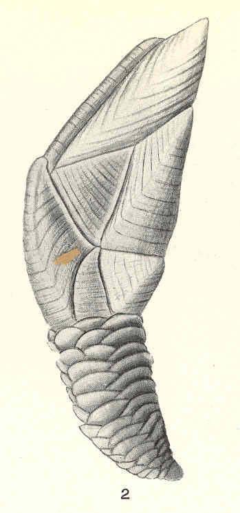 Image of <i>Trianguloscalpellum balanoides</i> (Hoek 1883)