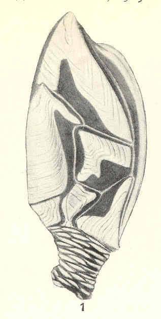 Image of <i>Scalpellum japonicum biramosum</i> Pilsbry