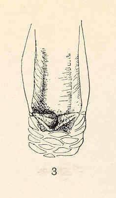 Image of <i>Teloscalpellum pacificum</i> (Pilsbry 1907)